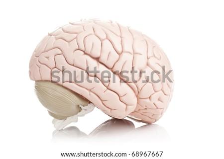 Human brain model on white background