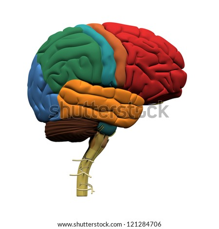 Human Brain Parts - Isolated on white