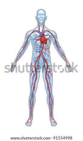 Human Cardiovascular heart system with heart anatomy from a healthy body isolated on white background as a medical health care symbol of an inner vascular organ as a medical chart.