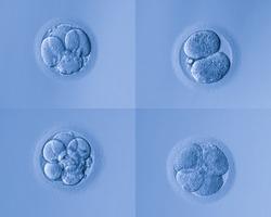 human cells egg