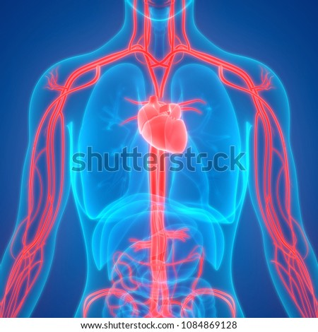 Human Circulatory System Anatomy. 3D