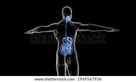 human digestive system anatomy 3d illustration Stock photo ©