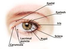 Human eye anatomy diagram - medical description. Blu eye version.