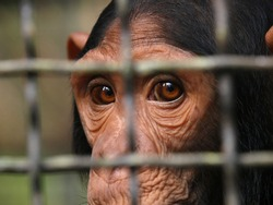 Human eye ape trapped in a cage. Pan troglodytes.  A monkey