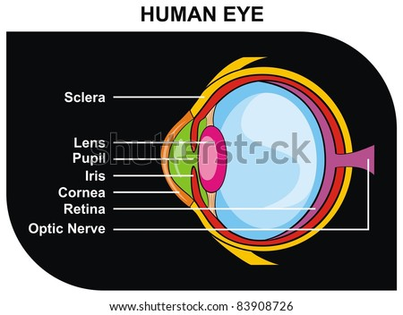 Human Eye Cross-Section Including Eye Parts (Sclera, Lens ...