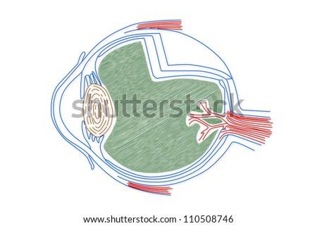 Human Eye structure - stock photo