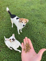 Human feeding dogs outside in green grass, scatter feeding canine enrichment activity