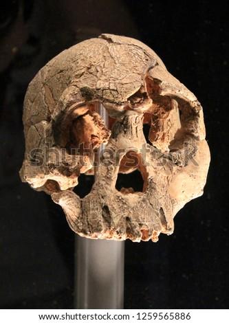 Human fossil Australopithecus Homo