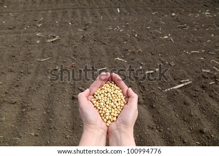 Human hand holding soybean, with field  in background