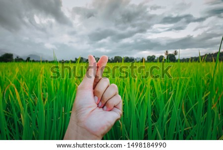 Human hands and rice fields in the fields