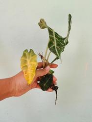 Human Hands Holding  Alocasia sanderiana Bull ,Closeup shiny leaves veins pattern of Kris plant (Alocasia Sanderiana Bull) .