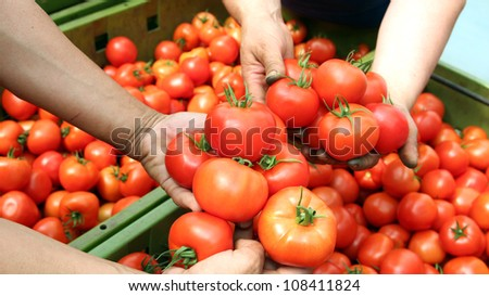 Human hands holding fresh ripe tomatoes. Selective focus. - stock photo