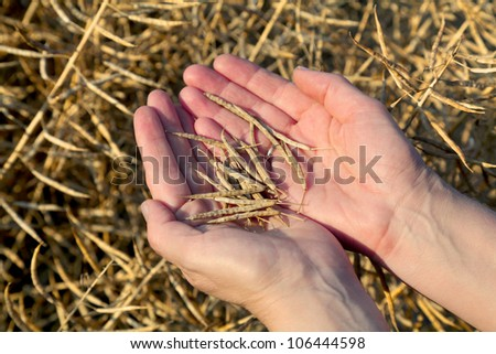 Human hands holding oilseed crop in front of field #106444598