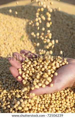 Human hands holding soy beans after harvest