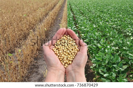 Human hands holding soybean crop with soy plant field ready for harvest and green, agricultural concept