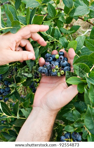 human hands picking up blueberry fruits in vertical composition