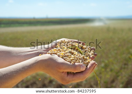 Human hands pouring soy beans after harvest