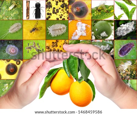 Human hands protecting citrus fruits from insect pests. Protection concept