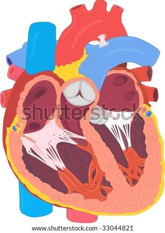 human circulatory system heart. human circulatory system heart