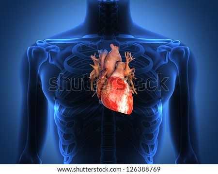 Human heart anatomy from a healthy body