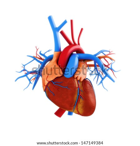 Human heart anatomy illustration on a white background. Part of a medical series