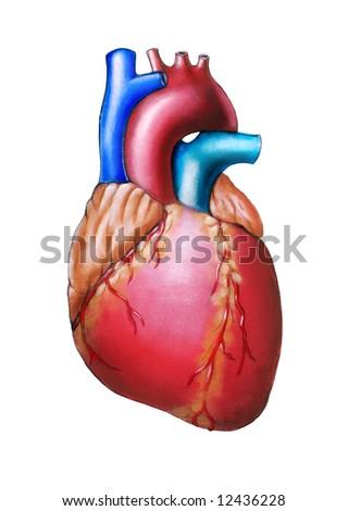 Human heart anatomy. Original hand painted illustration.