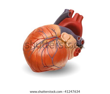 Human heart anatomy. Original hand painted illustration - keep path
