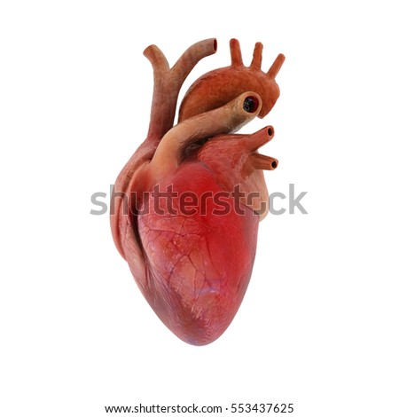 Human heart 3D render/ heart human / isolated on white