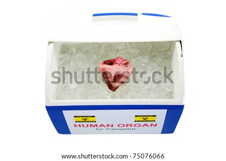 human heart for organ transplant on ice, isolated on white with room for your text