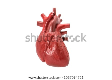 Human heart model on white background #1037094721