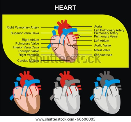 human circulatory system heart. human circulatory system