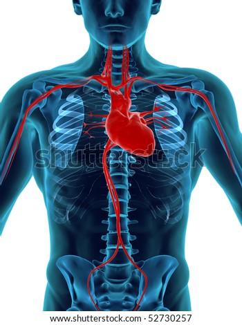 Human Heart & Skeleton