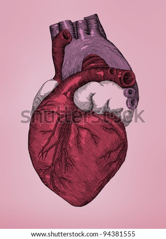 Human Heart, vintage engraving. Old drawing illustration of the Human Heart.