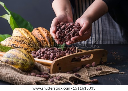 Human hold many cocao beans / cocoa fruits . / Cocoa Beans and Cocoa Fruits on wooden, Cocoa concept.