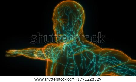 Human Internal system Lymph Nodes Anatomy. 3D