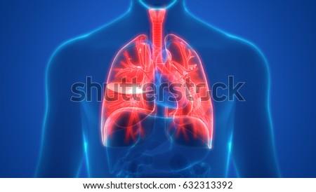 Human Lungs Inside Anatomy (Larynx, Trachea, Bronchioles). 3D | EZ ...