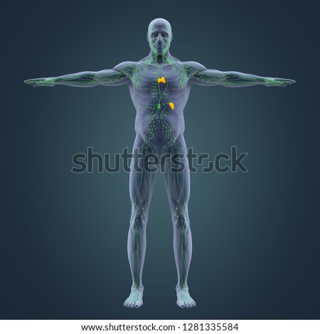 Human Lymphatic System Illustration. 3D rendering Stock photo ©