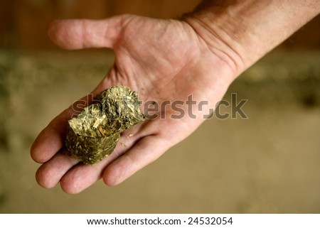 Human male hand with dry alfalfa, horses food, granary, barn.