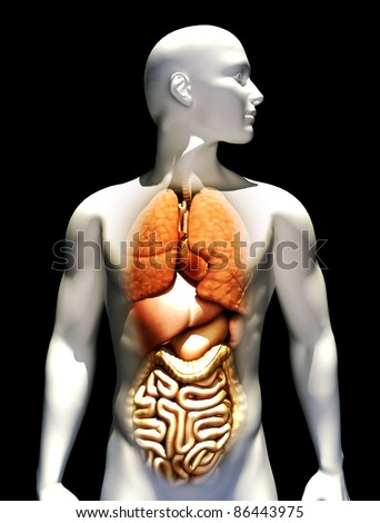 Human male illustration with emphasis on the lungs , liver,heart,stomach and intestines.Female version also available.  Part of a medical series