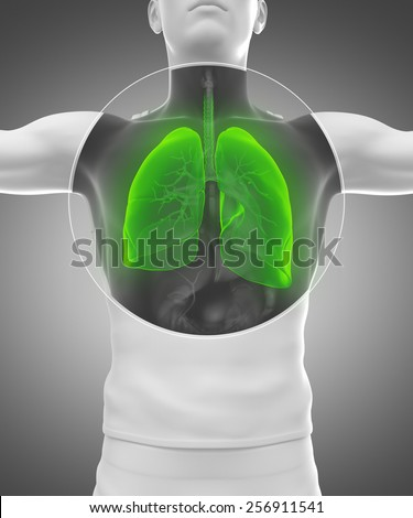 Human man anatomy with x-ray lungs and respiratory system in green