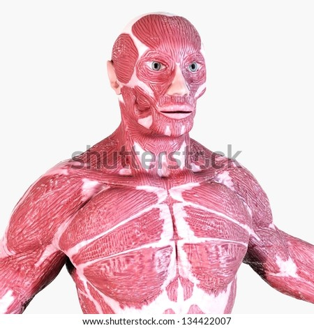 Human Muscle Anatomy - Torso