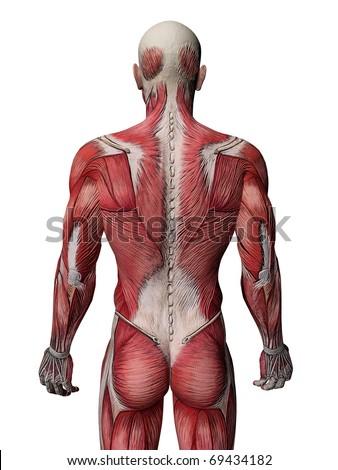 Human Muscle Xray