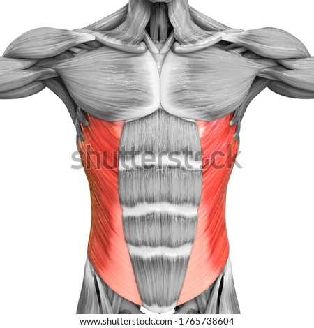 Human Muscular System Torso Muscles Abdominal External Oblique Muscle Anatomy. 3D Сток-фото ©