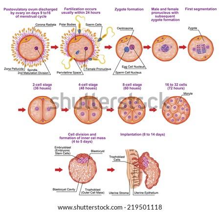 Human Ontogeny, Fertilization, Developmental Stage ...