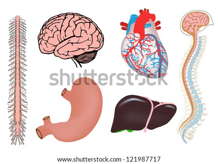 human organs. human heart, liver, stomach, human brian with spinal cord, spinal column and brain. jpg version