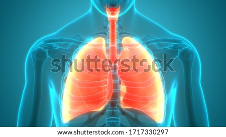 Human Respiratory System Lungs Anatomy. 3D Photo stock ©