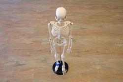 Human skeletal model, human skeletal structure