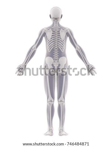 Human Skeleton Anatomy Isolated (Back View). 3D rendering   EZ Canvas