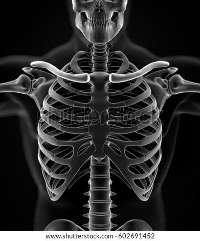 Human skeleton anatomy torso, ribs, xray. 3D illustration | EZ Canvas