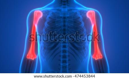 Human Skeleton Bones Anatomy Humerus Bones 3d Ez Canvas